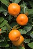 Ny apelsin på växten, orange tree Royaltyfri Fotografi