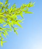 Ny bambu låter vara kanten Royaltyfria Bilder