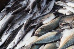 Ny barracudafisk på is Fotografering för Bildbyråer