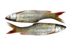 ny bas- fisk Arkivbilder