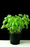 Ny basilikaväxt i svart kruka Royaltyfria Bilder