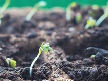 ny begreppslivstid Grön planta som visas från jord i vår Liten kryddkrasse spirar under solljus Fotografering för Bildbyråer