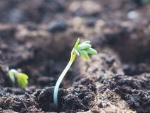 ny begreppslivstid Grön planta som visas från jord i vår Liten kryddkrasse spirar under solljus Arkivbilder