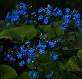 Ny blå förgätmigejblomma Royaltyfri Foto