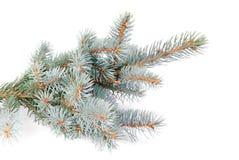 Ny blå granträdfilial Arkivfoton