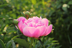 Ny blommande pion i trädgården Arkivbilder