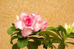 Ny blommande rosa azalea Royaltyfria Bilder