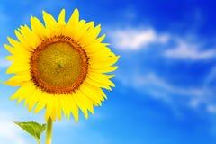 Ny blomningsolros som är utstående i sunnyday Arkivfoto