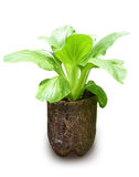 Ny Bok Choy växt som växer i återanvänd behållare royaltyfria foton
