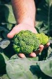 Ny broccoli i bondehand Arkivbild