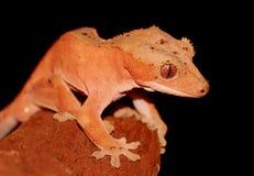 ny caledonian krönad gecko Royaltyfri Foto