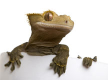 ny caledonian krönad gecko Royaltyfri Bild