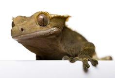 ny caledonian krönad gecko Arkivfoton