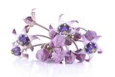 Ny Calotropis blomma Fotografering för Bildbyråer