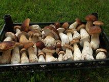 Ny champinjonsopp i asken Höststensoppet plocka svamp bakgrund Fotografering för Bildbyråer
