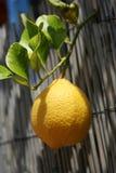 Ny citron arkivbilder