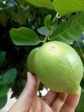 Ny citron i trädet royaltyfri bild