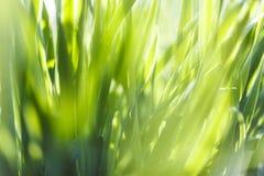 Ny closeup för grönt gräs slapp fokus mot bakgrund field blåa oklarheter för grön vitt wispy natursky för gräs Royaltyfri Fotografi