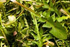 Ny closeup för sallad för vårgräsplanmaskros Arkivbild