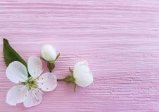 Ny design för körsbärsröd skönhetblomning på en rosa träbakgrund, vår arkivfoton