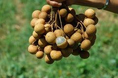 Ny Dimocarpuslongan för Longan En grupp av longan- och Peelshowen som vita köttet med svart kärnar ur, förlades Royaltyfri Foto