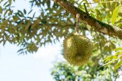 Ny durian på dess träd Fotografering för Bildbyråer