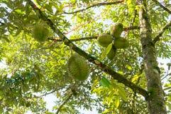 Ny durian på dess träd Arkivbild