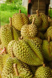 Ny Durian på Durianträd i fruktträdgården, Thailand Arkivfoto