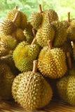 Ny Durian på Durianträd i fruktträdgården, Thailand Royaltyfri Foto