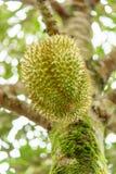 Ny durian på träd Fotografering för Bildbyråer