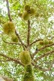 Ny durian på träd Royaltyfria Bilder