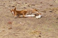 ny född häst Arkivfoton