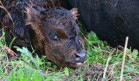 ny född kalv Arkivfoto