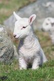 ny född lamb arkivfoton