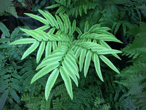 Ny Fern Leaf närbild Royaltyfri Fotografi