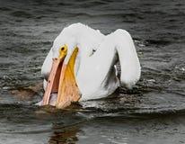 Ny fisk för frukosten för denna pelikan royaltyfri bild