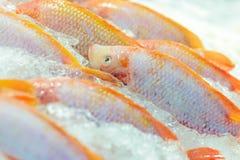 Ny fisk på is Arkivbild