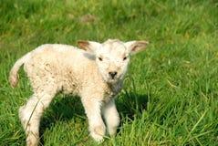ny fjäder för födda lambs arkivbilder