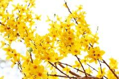 Ny forsythia som blommar i trädgården Fotografering för Bildbyråer