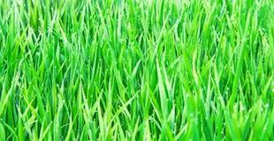 ny gräsgreen Arkivbilder