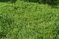 ny gräsgreenfjäder Arkivfoto