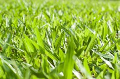Ny gräsmatta i morgonen Royaltyfri Fotografi