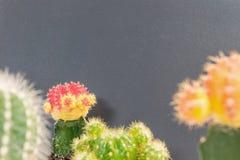 Ny gräsplan för Closeup och färgrik kaktusväxt på suddig svart tavla texturerad bakgrund med kopieringsutrymme Royaltyfria Foton