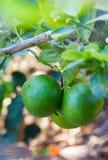 Ny gräsplan för rå limefrukt arkivfoto