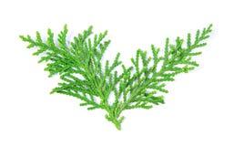 ny gräsplan sörjer sidor, den orientaliska arborvitaen, bekanta Thujaorientalis också, som Platycladus orientalis spricker ut tex Royaltyfri Bild