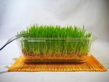 Ny gräsplan spirat vete och vete ger Arkivfoto