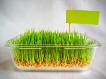Ny gräsplan spirat vete och vete ger Royaltyfria Foton