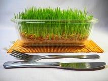 Ny gräsplan spirat vete och vete ger Fotografering för Bildbyråer