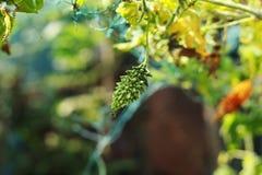 Ny grön bitter jordgrönsak arkivfoton