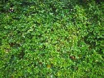 Ny grön bladväggbakgrund Royaltyfria Foton